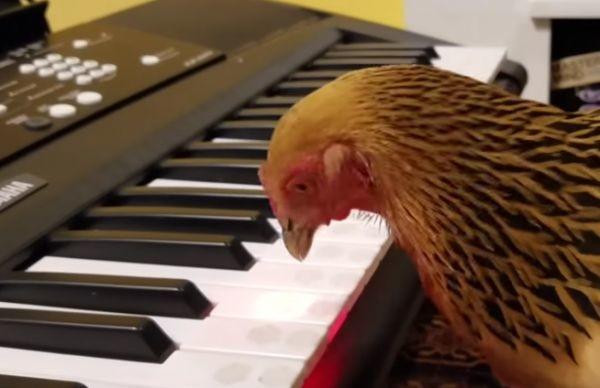 Brahma kokoš kljuca američku himnu, a ima i bend