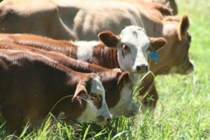Plan otplate kredita za farmu muznih krava: glupost ili prijevara?