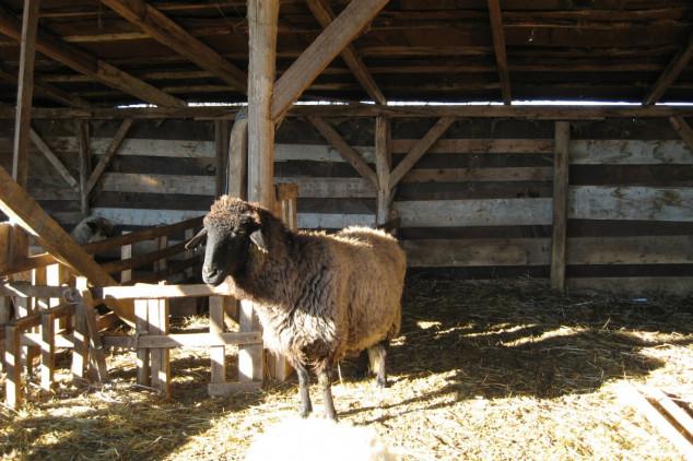 Cerovac: Retka karakačanska ovca