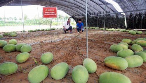 Sa jedne sadnice čak 131 lubenica!