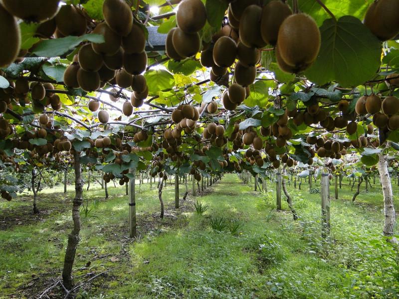 Talijansko voće cijenjeno na vanjskim tržištima