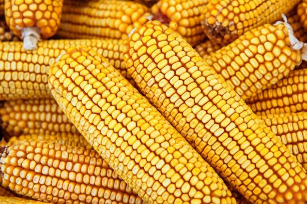 Drastičan pad izvoza ukrajinskog kukuruza!