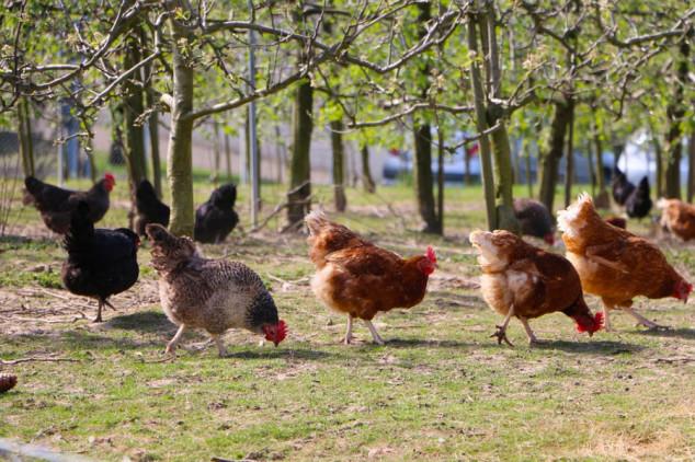 Upotreba kokošijeg đubriva u poljoprivredi