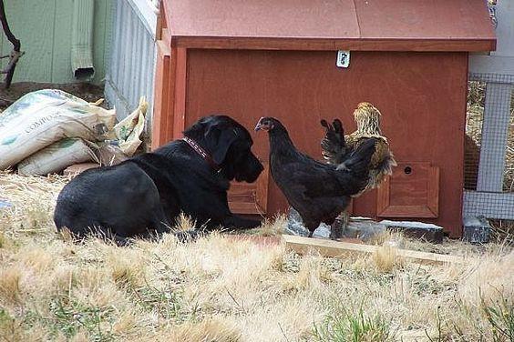Kako dresirati psa da ne napada kokoši?