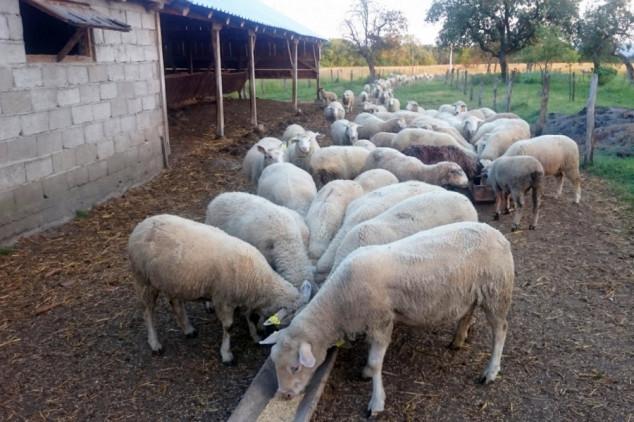 Odredite tjelesnu kondiciju ovaca