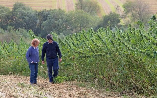 Slavonska konoplja na 10 hektara u eko uzgoju