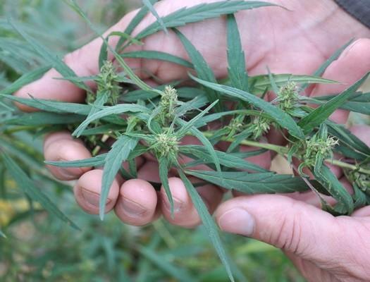 Zahtjevi za uzgoj konoplje premašili očekivanja