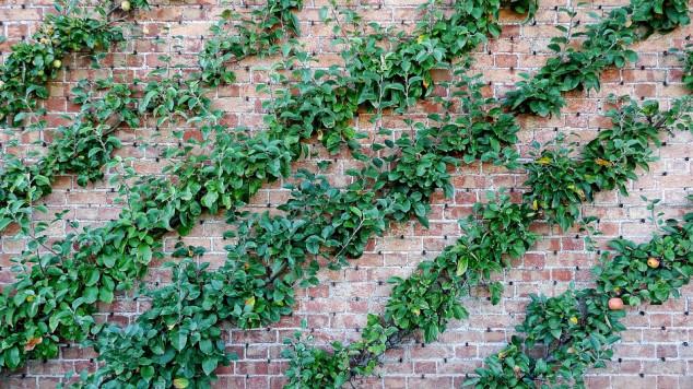 Kordunice - voćna stabla za male prostore