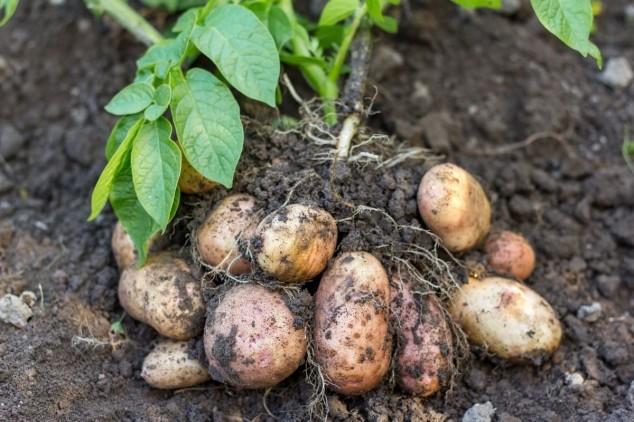 Kako očuvati korjenasto povrće od bolesti?