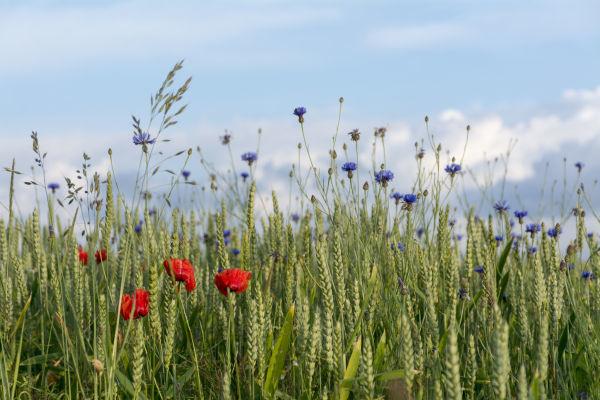 Idealno rešenje za zaštitu  žitarica od korova!