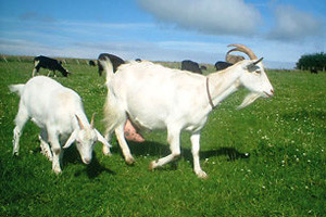 Vučići stručnjaci za koze, kozje mlijeko i sir