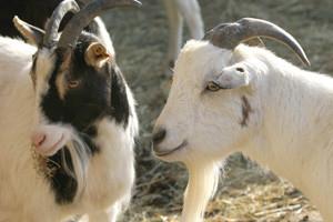 Kozje mlijeko - i hrana i zdravlje