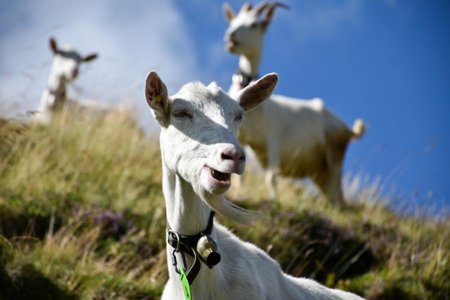 Zašto neke koze padaju kad se uplaše