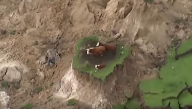 Zarobljene na ostrvu krave preživele razoran zemljotres