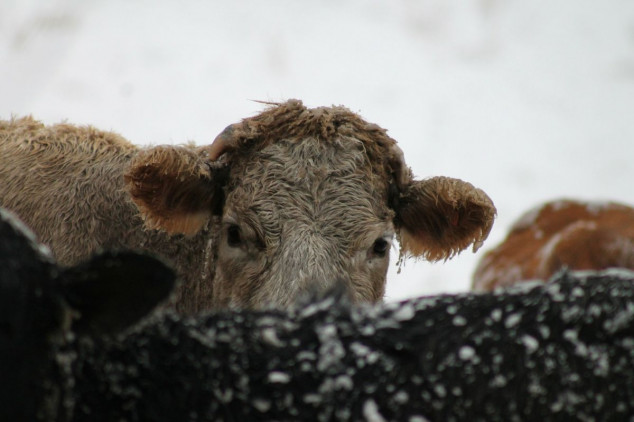 Zaštita goveda na farmama u zimskim uvjetima