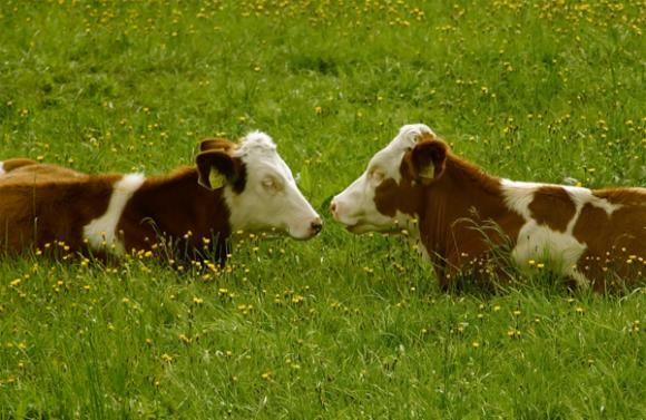 Uspešna farma muznih krava