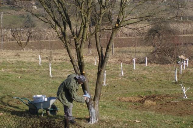 Čemu plavo prskanje i krečenje stabla?