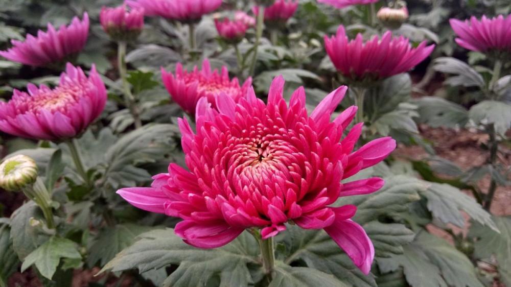 Krizanteme su i simbol sreće i vrijedne ljekovite biljke
