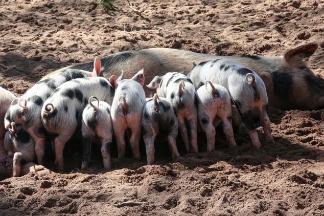 Tov svinja u Bačkom Dobrom Polju