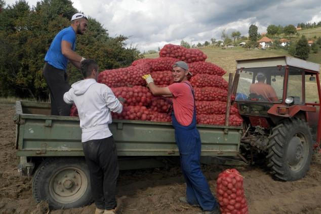 Jeftin krompir zarada za malobrojne