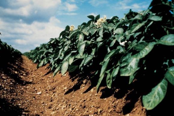 Zaštita krumpira od bolesti i štetnika tijekom vegetacije