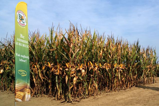 Požurite, počinje pretprodaja Bc hibrida kukuruza!