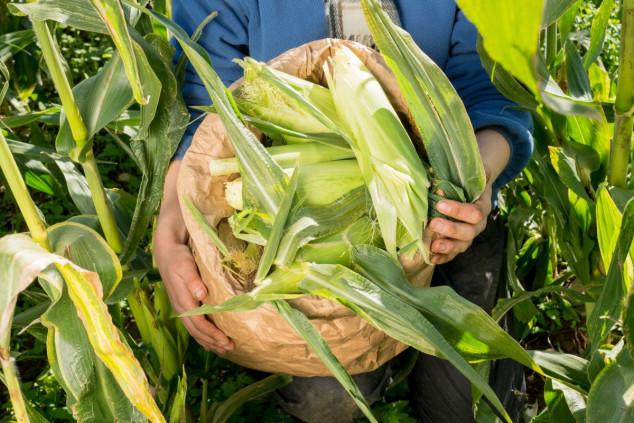 Sve o organskoj proizvodnji kukuruza