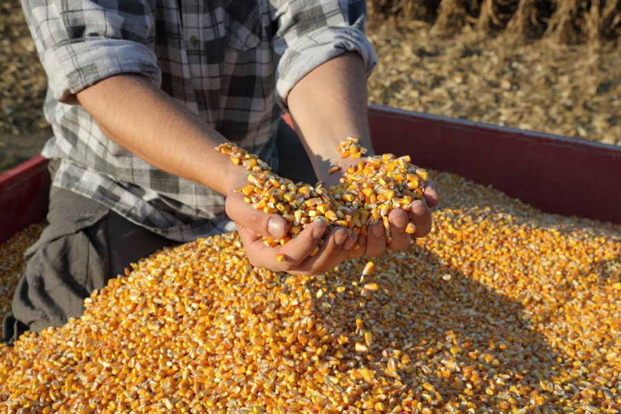 Prinosi odlični, niska otkupna cijena kukuruza