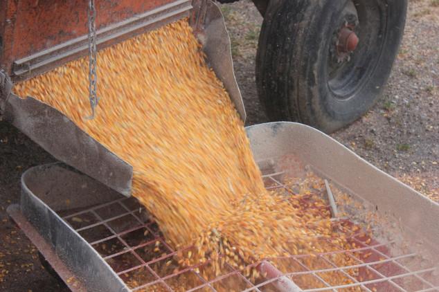 Ekološki kukuruz - i toga ima u Slavoniji!