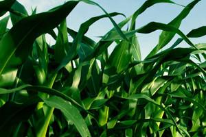 Osigurajte najbolji start sjemenu kukuruza
