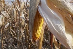 Žuti kukuruzi i slasna graševina bogatoga Srijema