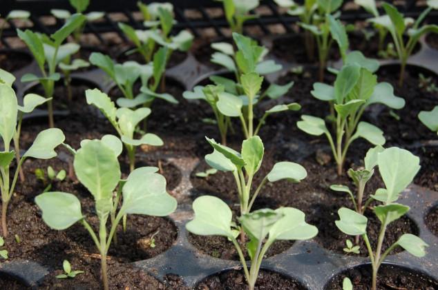 Dezinfekcija sjemena kalijum permanganatom