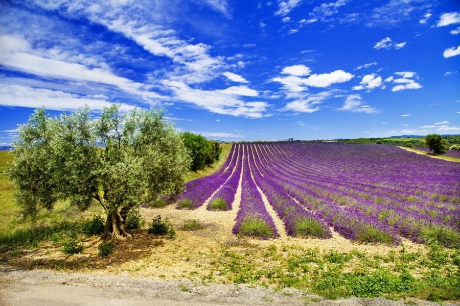 Zašto Talijani sade lavandu među maslinama?
