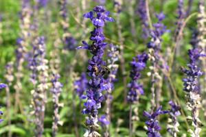 Uzgoj mirisne i ljekovite biljke