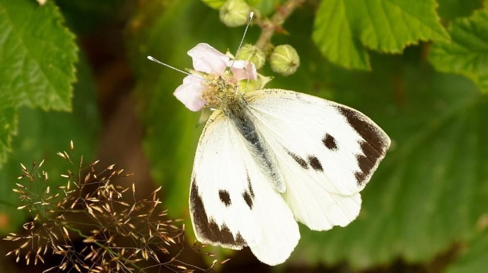 Leptiri kupusari - štetnici kupusnjača!