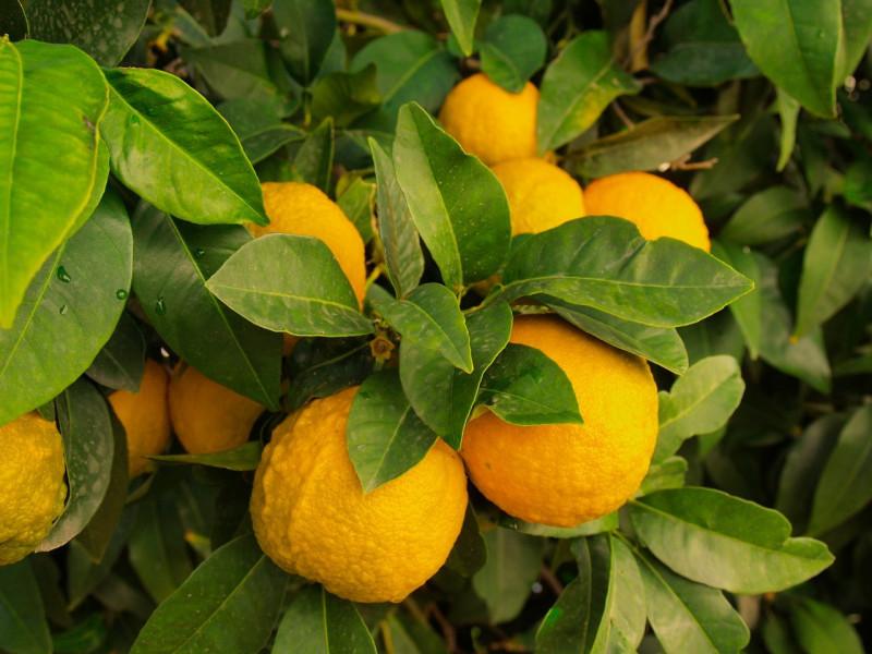 Turska limunom snabdijeva i Europu i Aziju