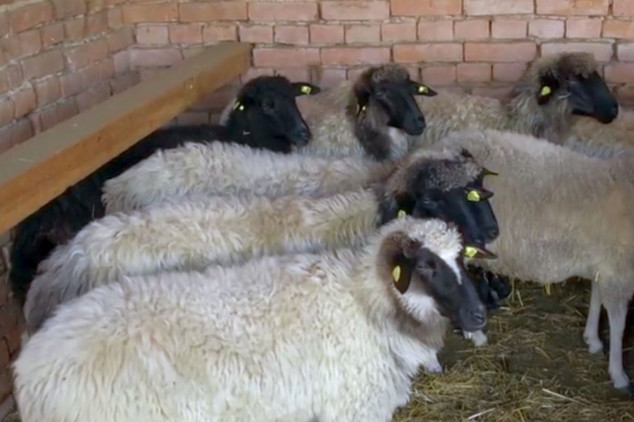 Lipska ovca, malo traži-dosta daje