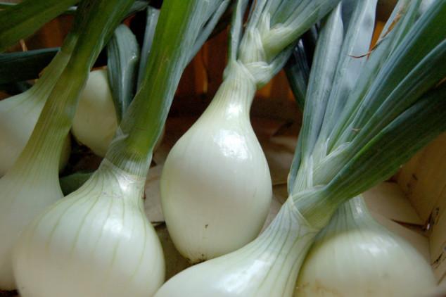 Luk srebrenac - sadnja i njega