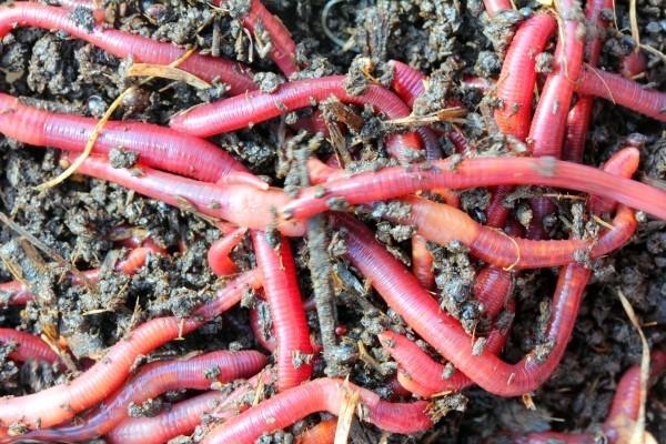 Uzgoj crvene kalifornijske gliste
