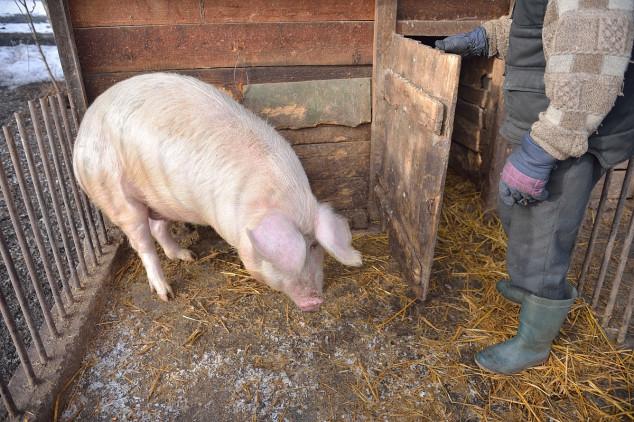 U Raški 74 svinje ubijene zbog bruceloze