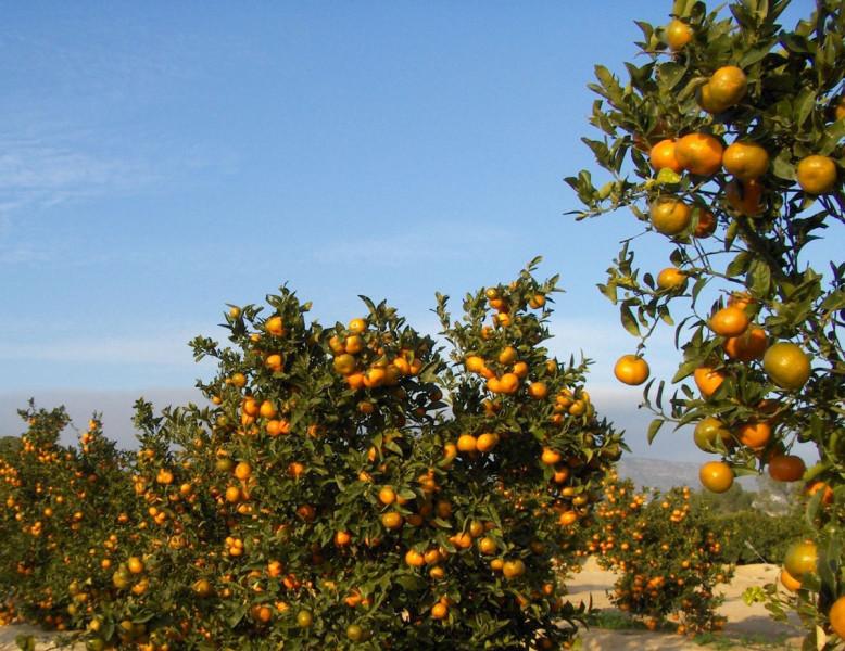 Kako suzbiti štitastu uš na mandarini?