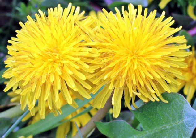 Maslačak - zaštitnik bilja, đubrivo i lijek!