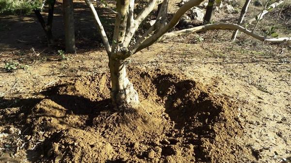 Bijela trulež korijena stabla maslina