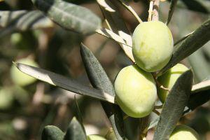 Oštećenim granama prijeti rak masline