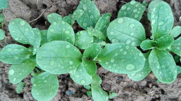 Matovilac, ta divna zimska salata