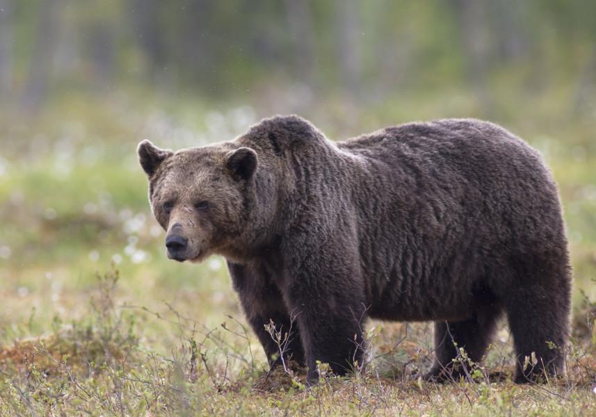 Tranzistorima čuvaju košnice od medvjeda