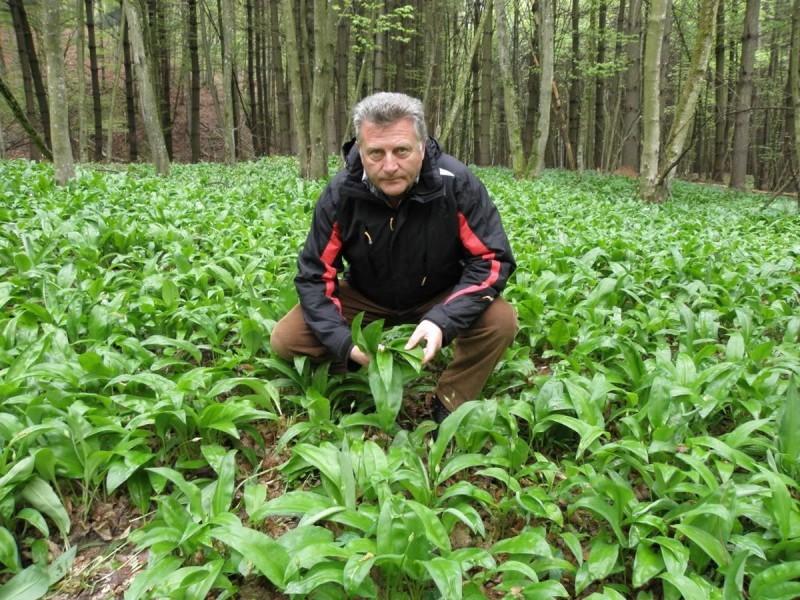 Medvjeđi luk: raste u šumi, ali se i uzgaja!