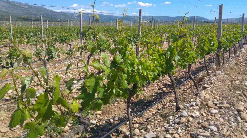 Bayer savjeti za vinogradare 8.-14.5.2017.