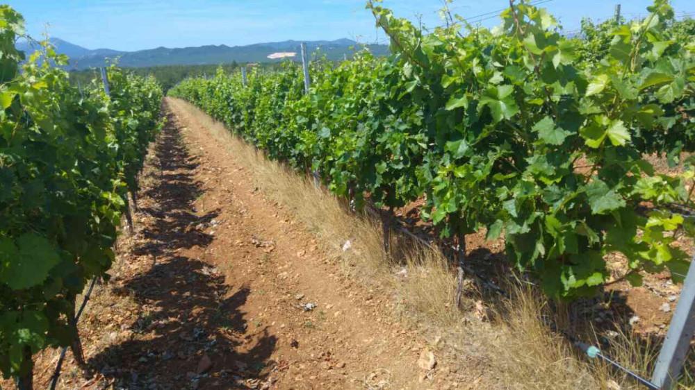 Bayer savjeti za vinogradare 12.-19.06.2017.