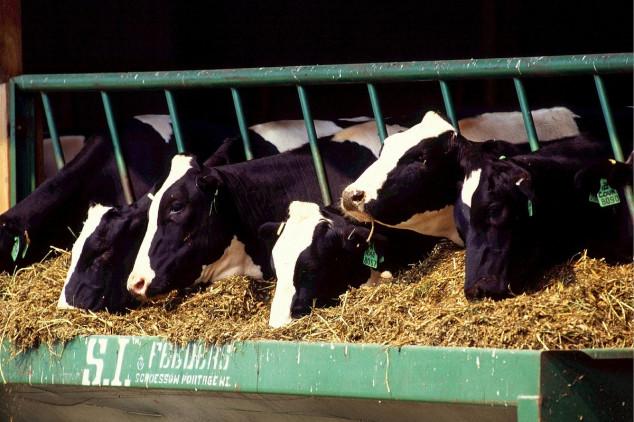 Kako smanjiti masnoću mlijeka kod mliječnih krava